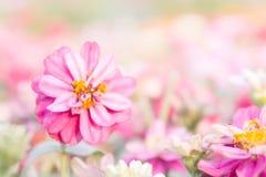 桃红色花卉在庭院,花百日菊属elegans,颜色自然bac里 库存照片