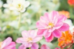 桃红色花卉在庭院,花百日菊属elegans,颜色自然bac里 免版税库存图片