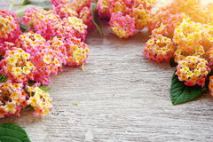 桃红色花卉在白色木背景 免版税库存图片