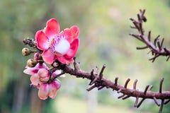 桃红色花卉生长在树 免版税库存照片