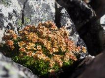 桃红色花卉生长在花岗岩岩石 免版税库存图片