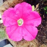 桃红色花发光的透视 库存照片
