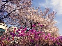 桃红色花和佐仓 库存图片