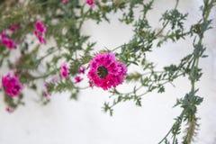 桃红色花和叶子deatil照片在灰色背景 免版税库存照片