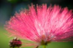 桃红色花和心皮在庭院/宏指令里桃红色花和心皮特写镜头在森林里 免版税库存图片