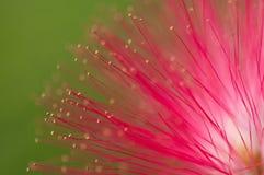 桃红色花和心皮在庭院/宏指令里桃红色花和心皮特写镜头在森林里 库存图片