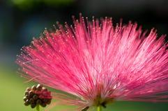 桃红色花和心皮在庭院/宏指令里桃红色花和心皮特写镜头在森林里 免版税图库摄影