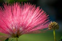 桃红色花和心皮在庭院/宏指令里桃红色花和心皮特写镜头在森林里 免版税库存照片