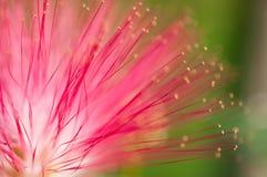 桃红色花和心皮在庭院/宏指令里桃红色花和心皮特写镜头在森林里 库存照片