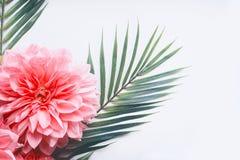 桃红色花和热带叶子在白色桌面背景,顶视图,创造性的布局与拷贝空间,边界 库存照片
