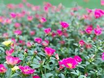 桃红色花和绿色叶子庭院早晨 免版税库存照片