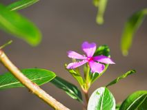桃红色花和绿色 库存照片