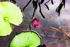 桃红色花和荷花在被回报的水中反射了 库存照片