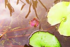桃红色花和荷花在被回报的水中反射了 免版税图库摄影