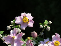 桃红色花和蜂 免版税库存图片