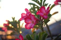桃红色花和绿色叶子有日落的点燃背景 免版税库存图片