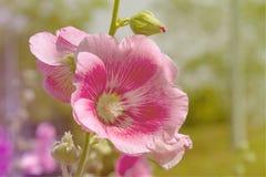 桃红色花和Bluesky 库存照片