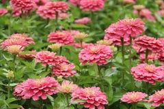 桃红色花园 库存照片