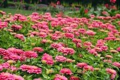 桃红色花园 库存图片