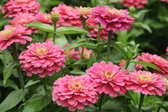 桃红色花园 免版税库存图片