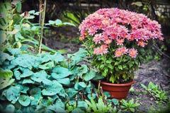 桃红色花在一个罐增长在庭院里 库存照片