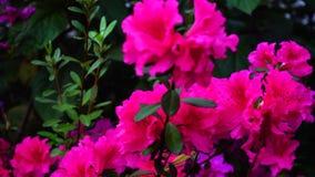 桃红色花在家庭菜园轻轻地增长 股票视频