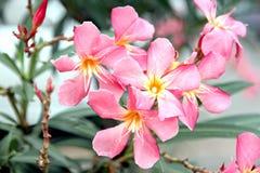 桃红色花在庭院里。 免版税库存图片