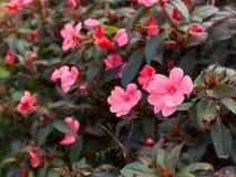 桃红色花在庭院里 图库摄影