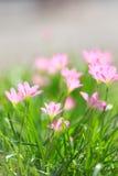 桃红色花在庭院里 免版税库存照片