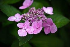 桃红色花在我的乡间别墅庭院里 库存图片
