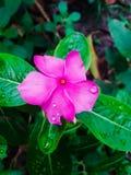 桃红色花在我的庭院里 免版税库存照片