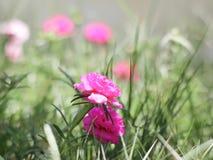 桃红色花在我的庭院里 库存照片