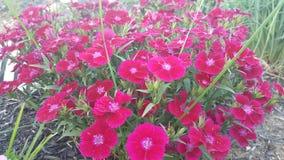 桃红色花在我的庭院里 免版税图库摄影