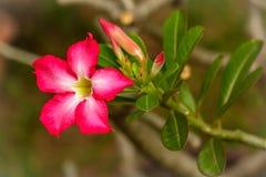 桃红色花在房子庭院里 库存图片