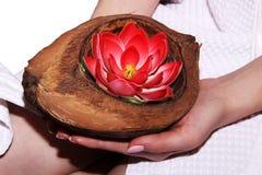 桃红色花在手中,荷花或者莲花 库存图片