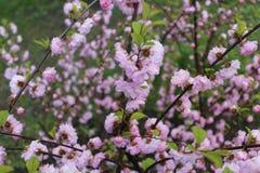 桃红色花在春天开了花 免版税库存图片