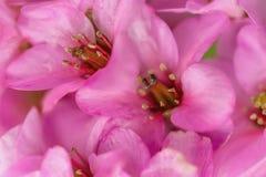 桃红色花在春天果树园 在花的雨珠 免版税库存照片