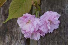桃红色花在春天 免版税库存图片