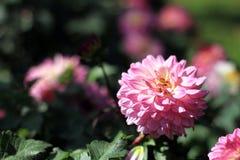 桃红色花在泰国的庭院里 库存照片