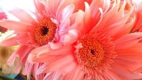 桃红色花在游泳池边 免版税图库摄影