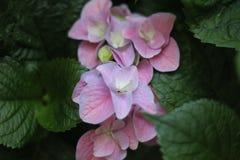 桃红色花在绿色叶子背景中 免版税库存照片