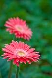 桃红色花在花园里 图库摄影