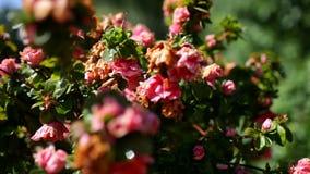 桃红色花在药商的夏天从事园艺 股票录像