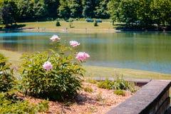 桃红色花在蓝色云杉的公园的一个庭院里 库存图片