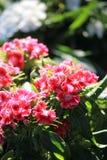 桃红色花在阳光下 库存照片
