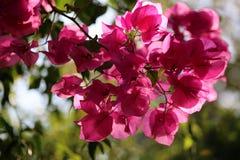 桃红色花在阳光下 免版税库存照片