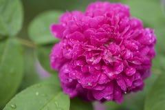 桃红色花在雨中 免版税图库摄影