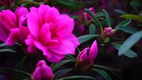 桃红色花增长与绿色长的叶子 股票录像