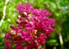 桃红色花宏指令在绉绸桃金娘树的 免版税图库摄影