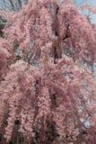 桃红色花小瀑布的画象 库存图片